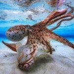 Dancing Octopus (Gabriel Barathieu)